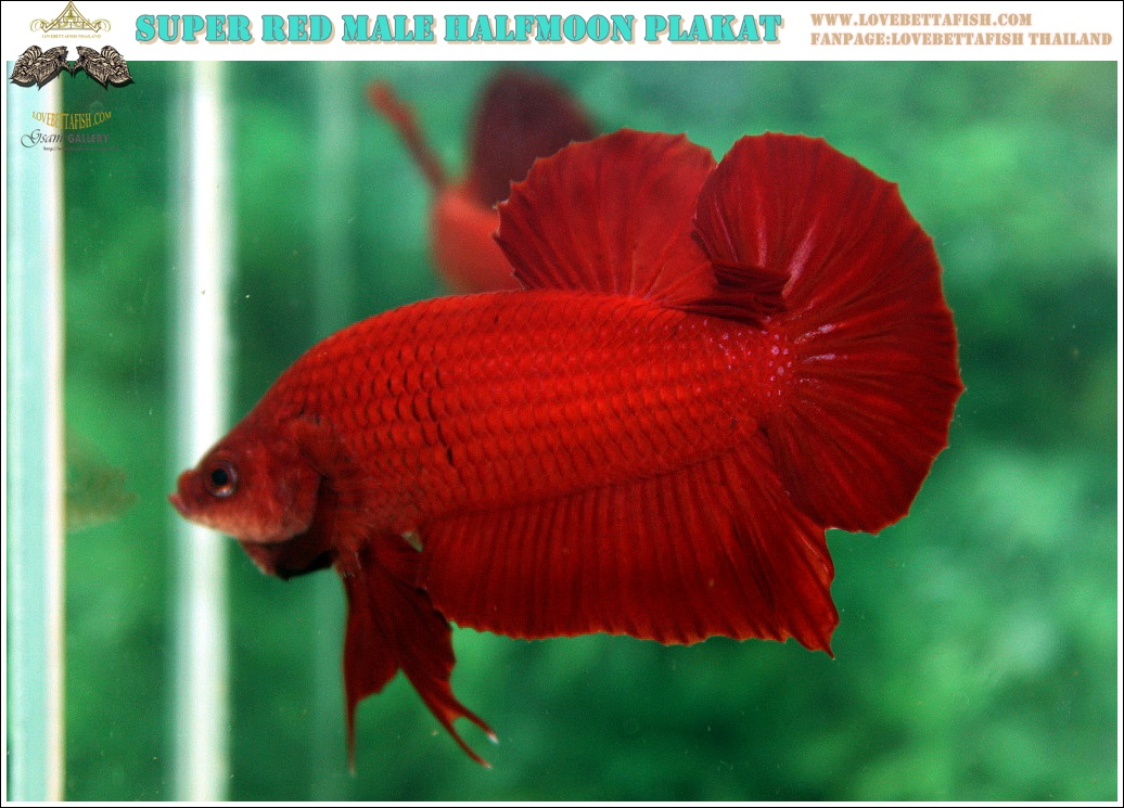 """(ขายแล้วครับ)ปล่อยเกรดพ่อพันธุ์ชั้นเยี่ยม""""คัดเกรด""""ปลากัดครีบสั้น-Halfmoon Plakats Super Red"""
