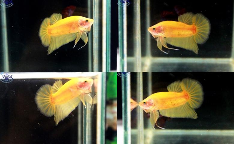 """(ขายแล้วครับ)""""คัดเกรด""""ปลากัดครีบสั้น-Halfmoon Plakats Super Yellow"""