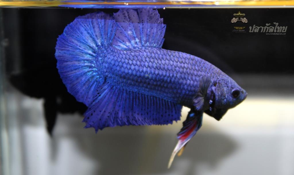ปลากัดคัดเกรดครีบสั้น - Halfmoon Plakad Super Blue Premium Quality Grade