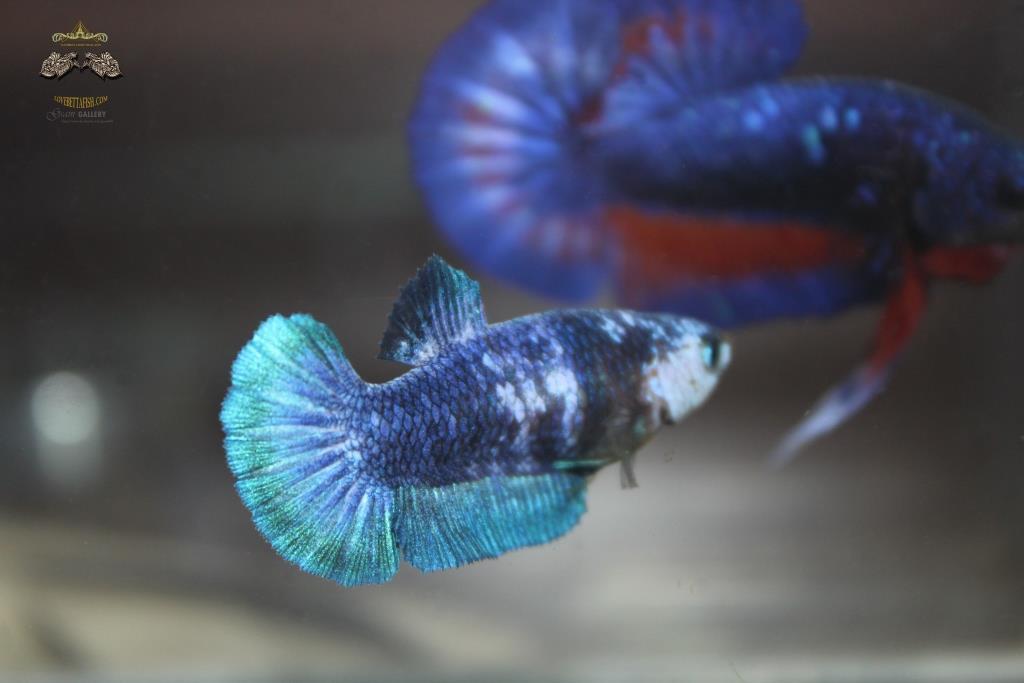 ปลากัดคัดเกรดครีบสั้นตัวเมีย - Female Halfmoon Plakad Fancy Green Marble Premium Quality Grade AAA+