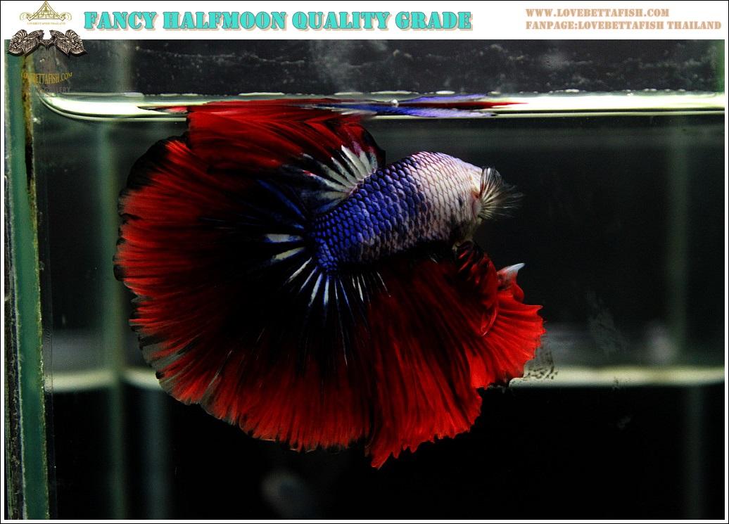 """(ขายแล้วครับ)""""คัดเกรดประกวด""""ปลากัดครีบยาว-Halfmoon Fancy Colors Quality Grade"""