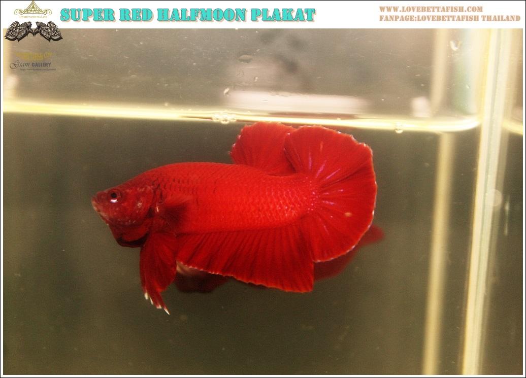 """(ขายแล้วครับ)""""คัดเกรด""""ปลากัดครีบสั้น-Halfmoon Plakats Super Red 02"""