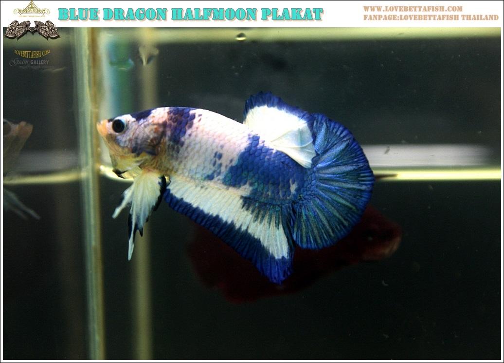 """(ขายแล้วครับ)""""คัดเกรด""""ปลากัดครีบสั้น-Halfmoon Plakats Blue Marble"""