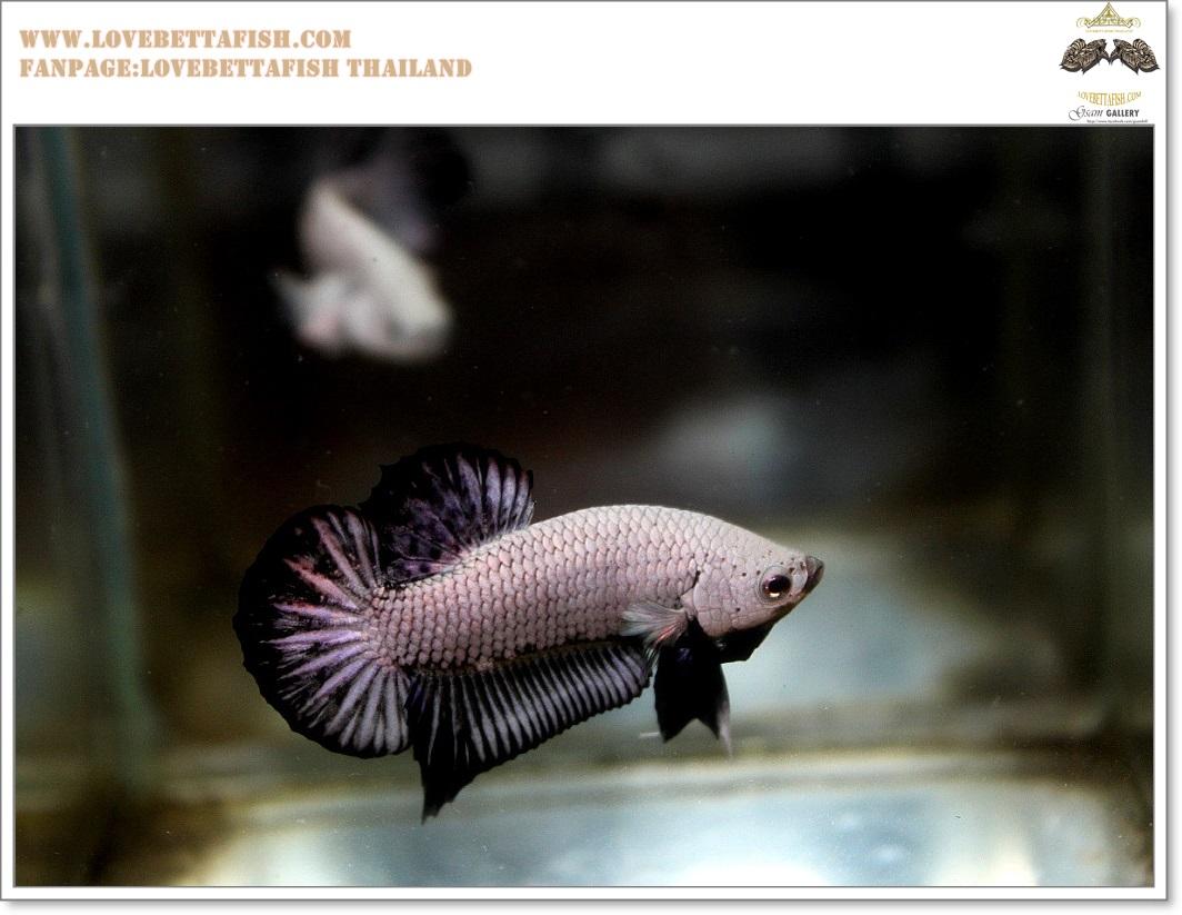 คัดเกรดปลากัดครีบสั้น-Halfmoon Plakat Black Dragon
