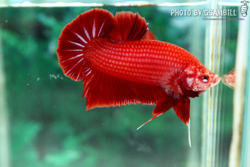 ปลากัดครีบสั้น - HMPK SUPER RED
