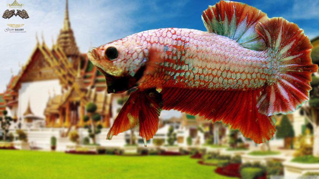 """(ขายแล้วครับ)""""คัดเกรด""""ปลากัดครีบสั้น-Over Halfmoon Plakats Fancy"""