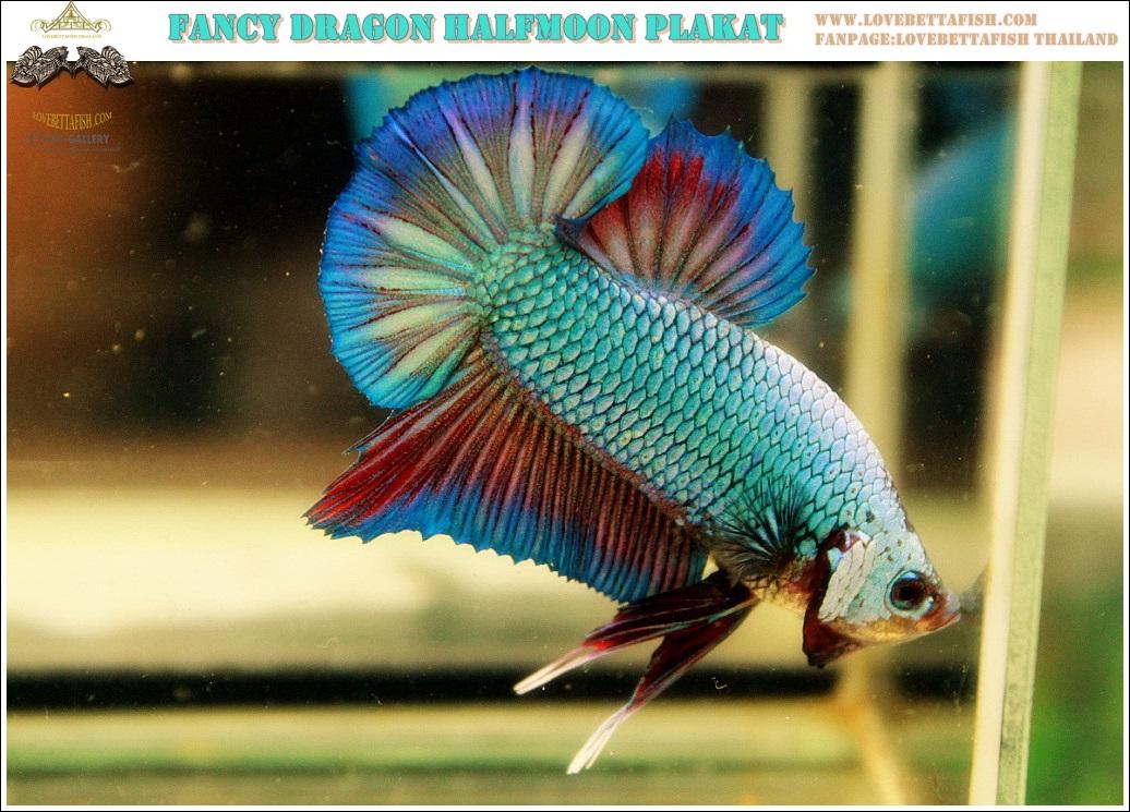 """""""คัดเกรด""""ปลากัดครีบสั้น-Halfmoon Plakats Fancy Dragon"""