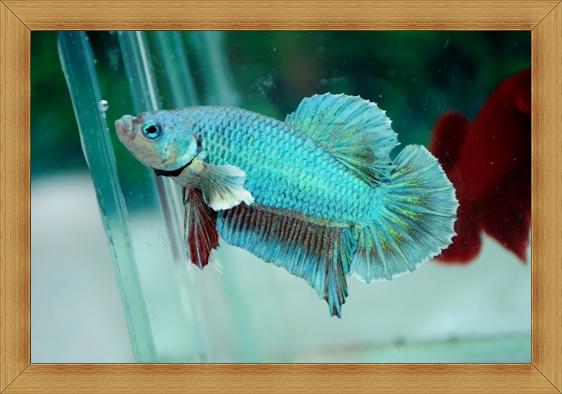 (ขายแล้วครับ)ปลากัดครีบสั้น - Fancy Halfmoon Plakats