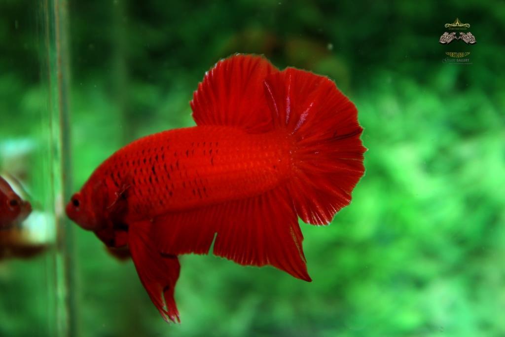 คัดเกรดปลากัดครีบสั้น - Halfmoon Plakad Quality Super Red