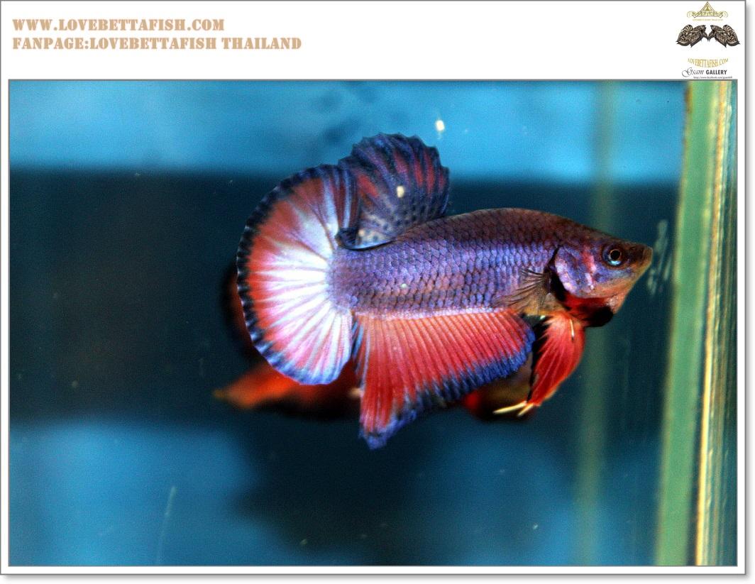 คัดเกรดปลากัดครีบสั้น-Halfmoon Plakat Lavender Fancy