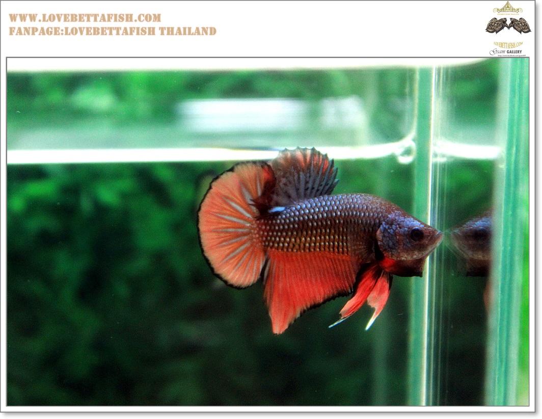 คัดเกรดปลากัดครีบสั้น-Halfmoon Plakat Orange Copper