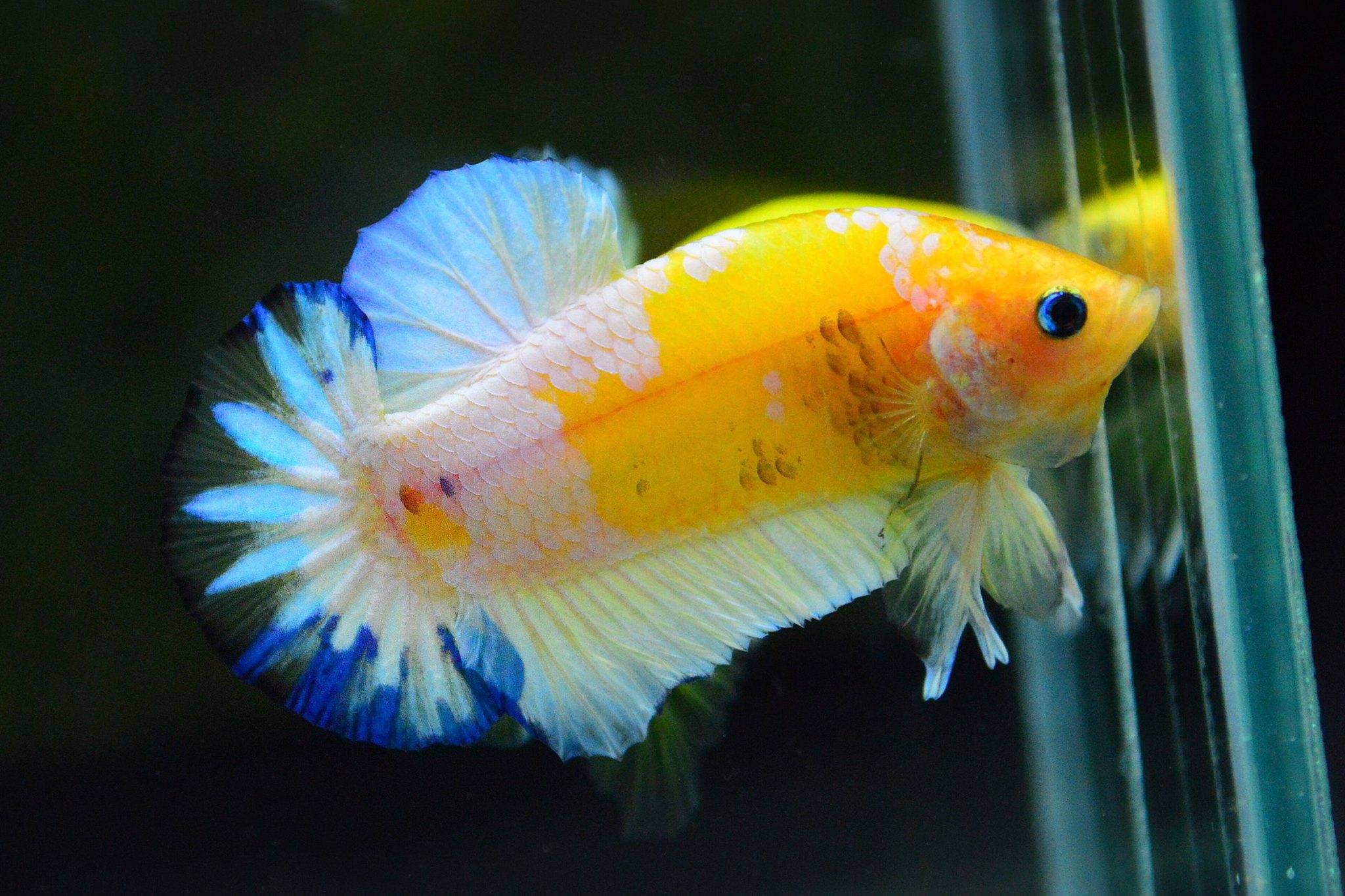 คัดเกรดปลากัดครีบสั้น-Halfmoon Plakad Fancy Dragon Yellow Body Hi Quality Grade