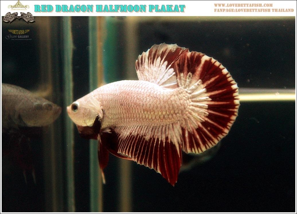 """(ขายแล้วครับ)""""คัดเกรด""""ปลากัดครีบสั้น-Halfmoon Plakats Red Dragon"""