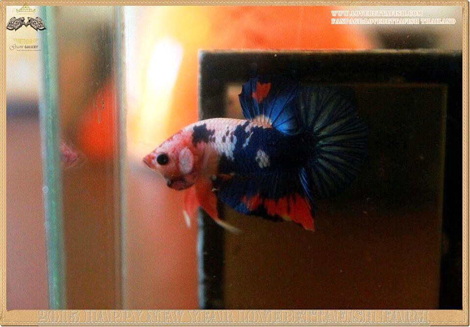 คัดเกรดปลากัดครีบสั้นแฟนซีคัดเกรด - HalfMoon Plakat Blue Dragon