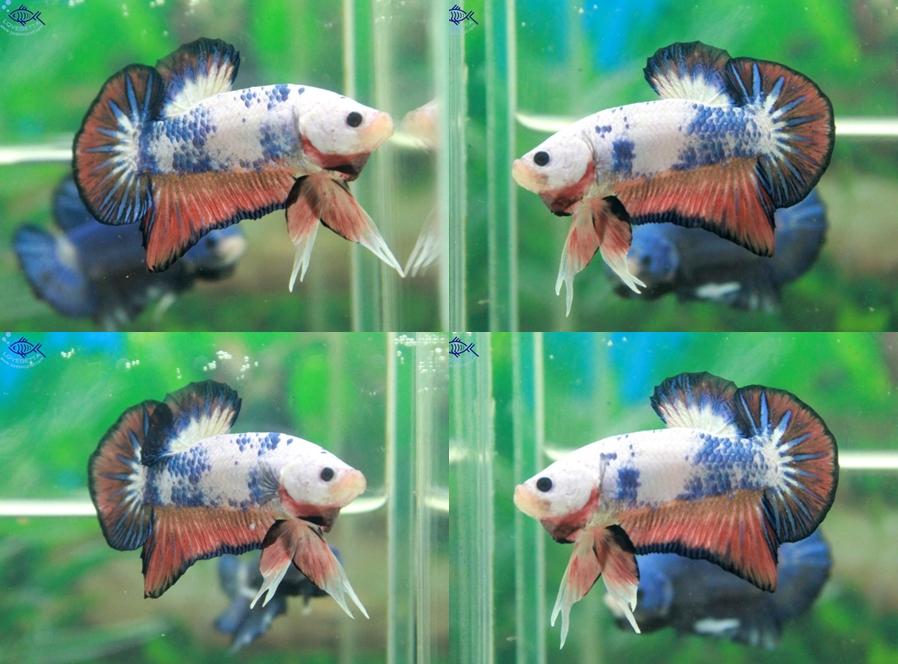"""(ขายแล้วครับ)""""คัดเกรด""""ปลากัดครีบสั้น-Halfmoon Plakats Fancy Dragon"""