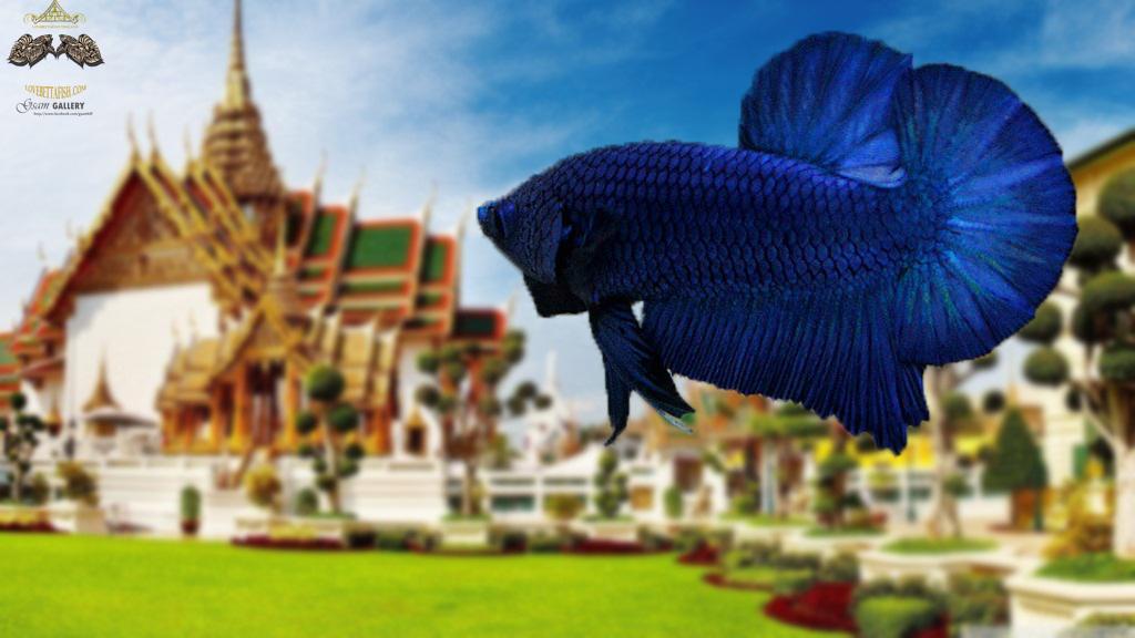 """(ขายแล้วครับ)ตอนรับปีใหม่""""คัดเกรด""""ปลากัดครีบสั้น-Halfmoon Plakats Super Blue"""