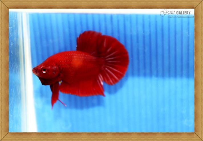 ปลากัดครีบสั้น - Halfmoon Plakats SUPER RED022