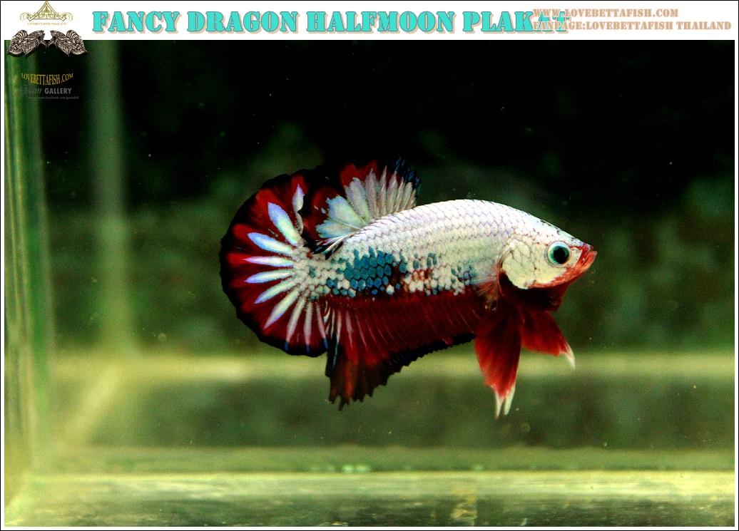 (ขายแล้วครับ)ปลากัดครีบสั้น-Halfmoon Plakat Fancy Dragon Good Grade