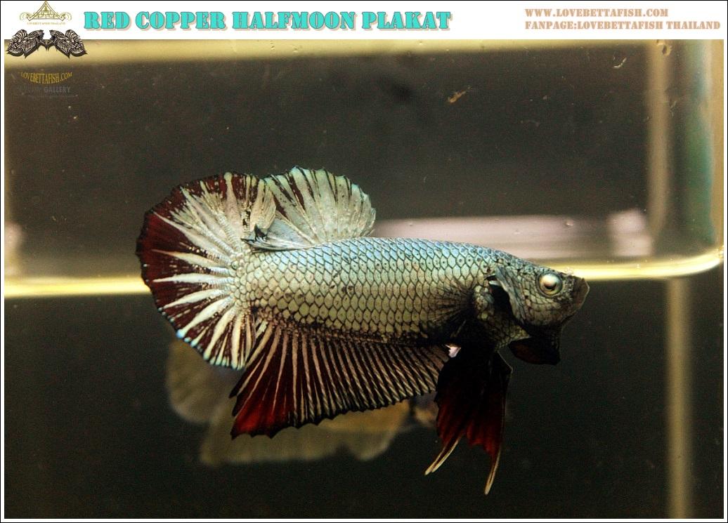 """(ขายแล้วครับ)""""คัดเกรด""""ปลากัดครีบสั้น-Halfmoon Plakats Red Copper"""