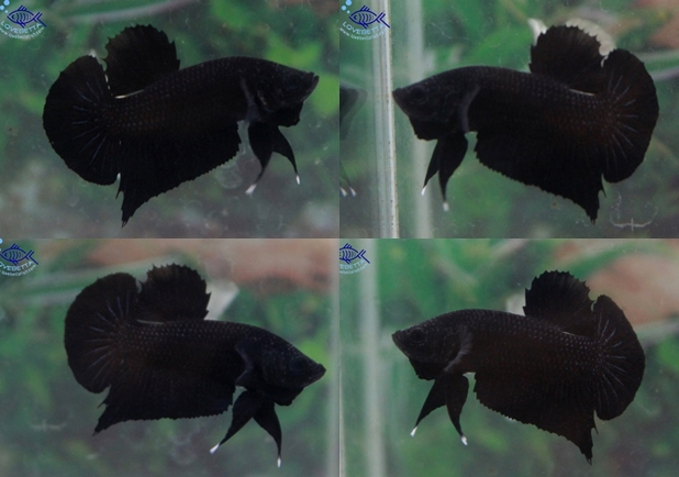 """(ขายแล้วครับ)""""คัดเกรด""""ปลากัดครีบสั้น-Halfmoon Plakats Super Black"""