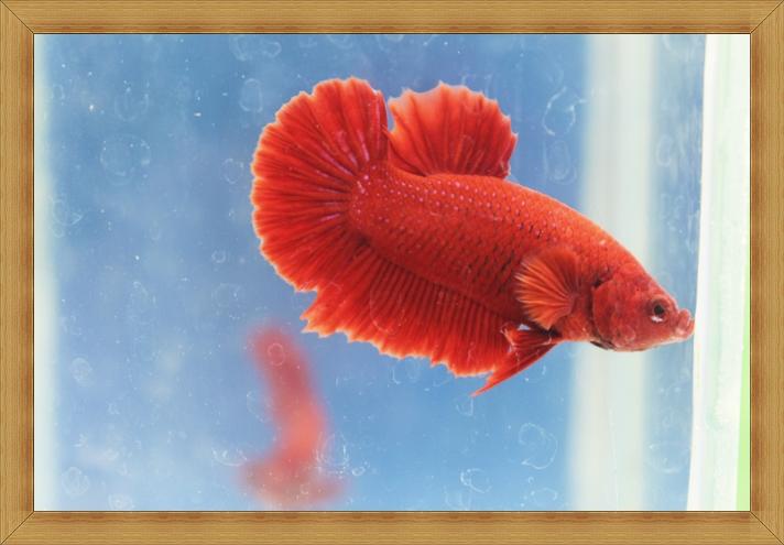 ปลากัดครีบสั้น - Halfmoon Plakats SUPER RED