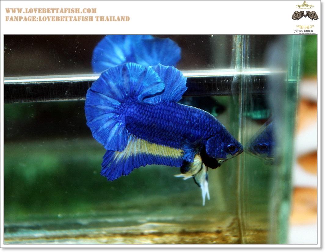 พิเศษ คัดเกรดปลากัดครีบสั้น-Halfmoon Plakat BLue Mustrad Grade AAA+