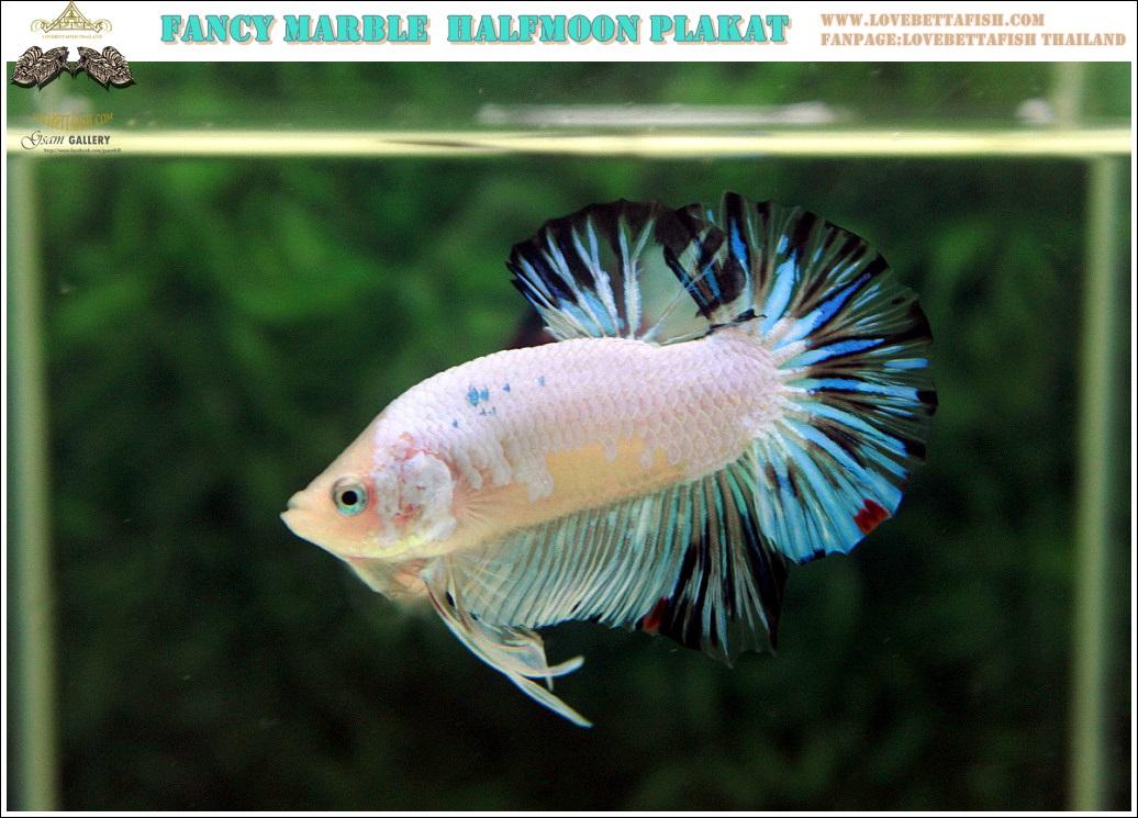 """(ขายแล้วครับ)""""คัดเกรด""""ปลากัดครีบสั้น-Halfmoon Plakats Fancy Marble Quality Grade"""