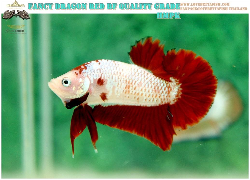 """(ขายแล้วครับ)มาแล้วสวยแปลก""""คัดเกรด""""ปลากัดครีบสั้น-Halfmoon Plakats Fancy Red Marble BF"""