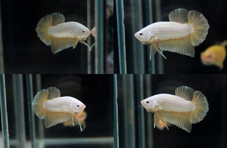 """ตอนรับเทศกาล สงกรานต์ """"คัดเกรด""""ปลากัดครีบสั้น-Halfmoon Plakats Super GoldDragon เคลือบมิดถึงหัว"""