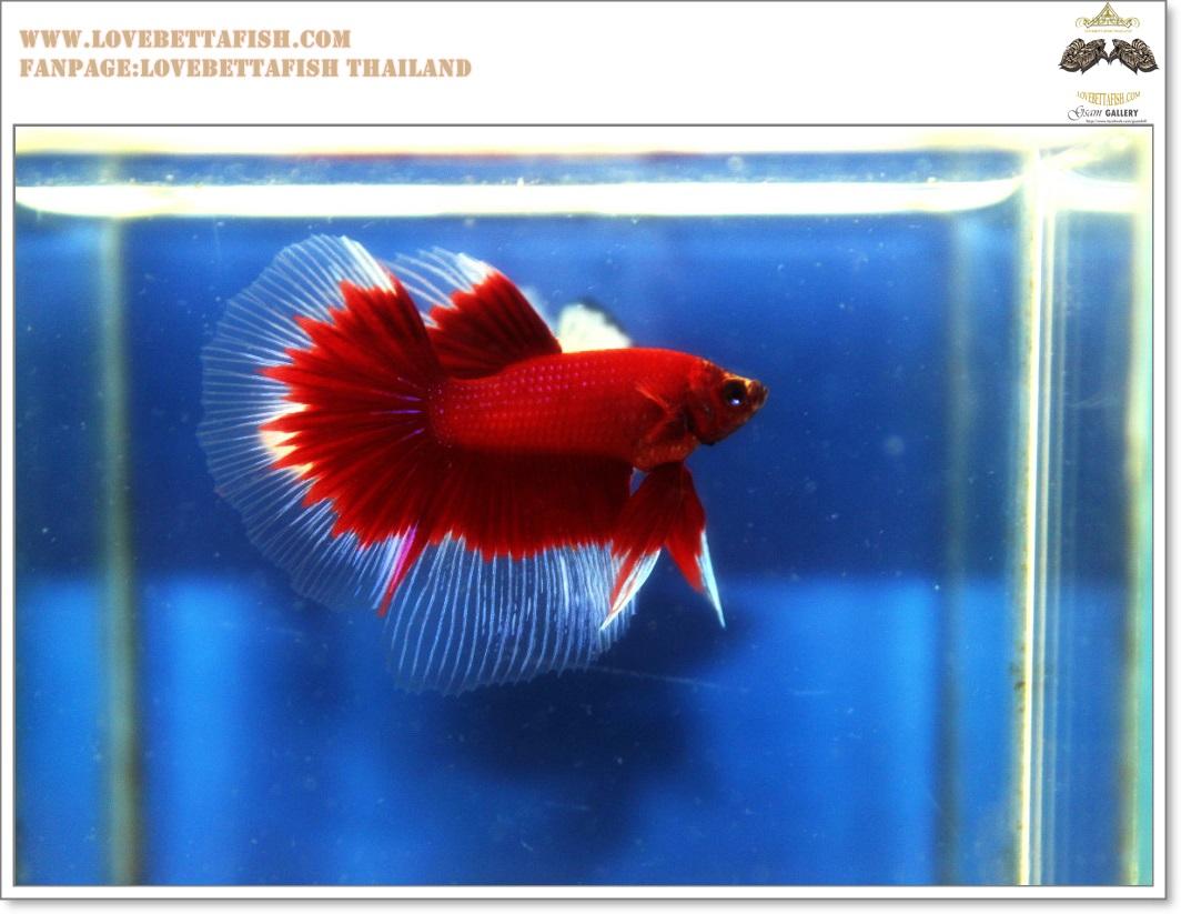 คัดเกรดปลากัดครีบยาว-Halfmoon Red Butterfy Nice Grade