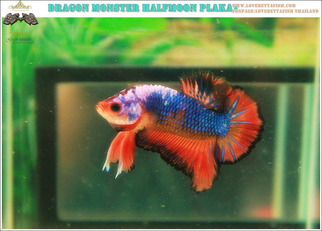 """(ขายแล้วครับ)""""คัดเกรด""""ปลากัดครีบสั้น-Halfmoon Plakats Fancy Dragon Orange Monster"""