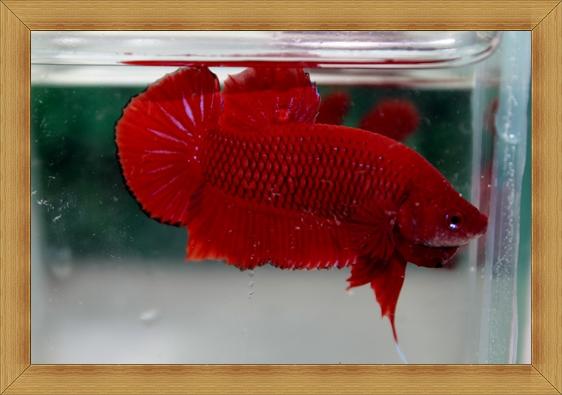 (ขายแล้วครับ)ปลากัดครีบสั้น -Halfmoon Plakats