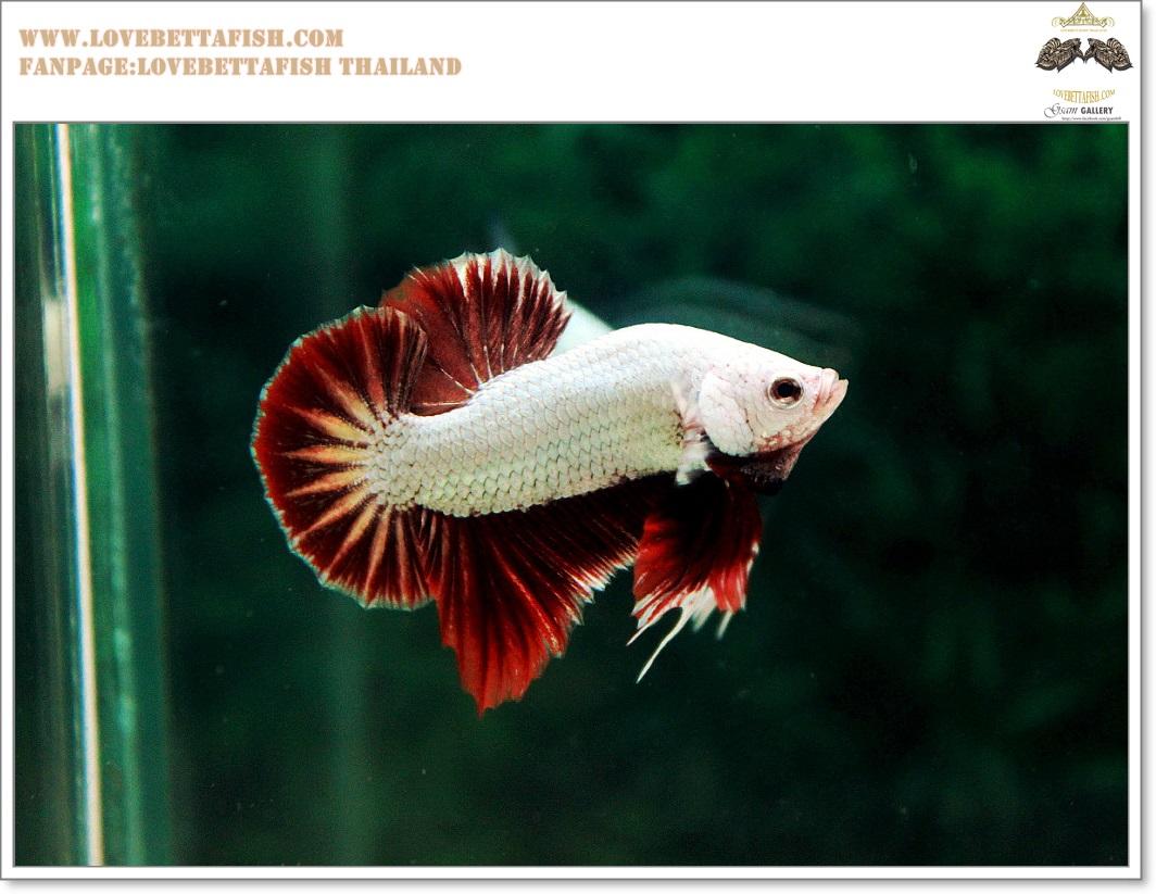 คัดเกรดปลากัดครีบสั้น-Halfmoon Plakat Red Dragon Qaulity Grade