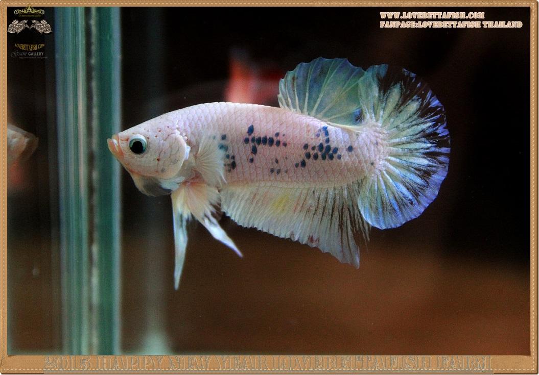 ปลากัดครีบสั้นหางพระจันทร์ครึ่งดวง - Halfmoon Plakat Marble