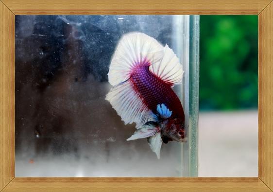 (ขายแล้วครับ)ปลากัดครีบยาว-Fancy Halfmoon Plakats