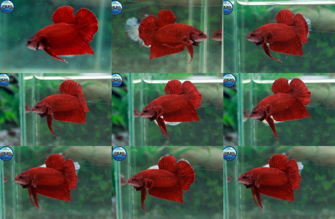 (ขายแล้วครับ)Super red ปลากัดครีบสั้น-Halfmoon Plakats Super Red