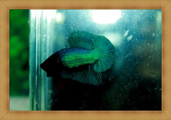 (ขายแล้วครับ)ปลากัดครีบสั้น-Super Green Halfmoon Plakats