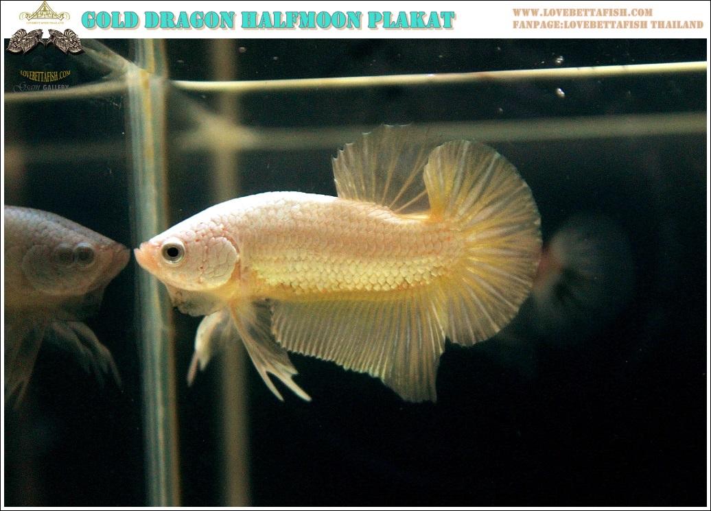 """(ขายแล้วครับ)""""คัดเกรด""""ปลากัดครีบสั้น-Halfmoon Plakats Super Gold Dragon 02"""