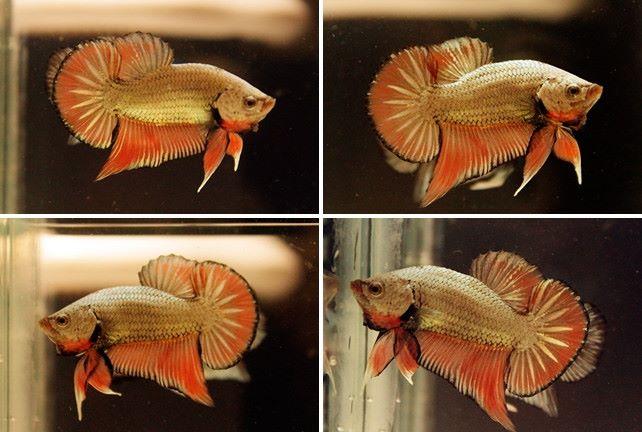 (ขายแล้วครับ)ปลากัดครีบสั้น - Halfmoon Plakats