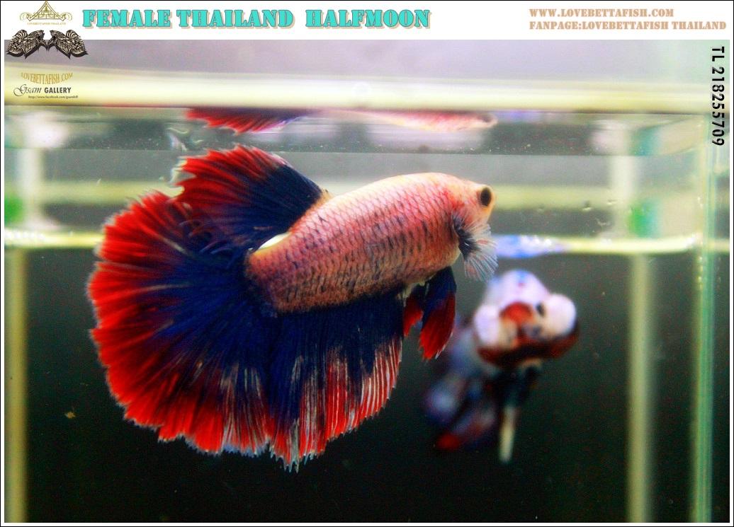 """(ขายแล้วครับ)""""คัดเกรด""""ปลากัดครีบยาวหางเดี่ยว หางพระจันทร์ครึ่งดวงตัวเมีย-Female Halfmoon Thailand Grade A++"""