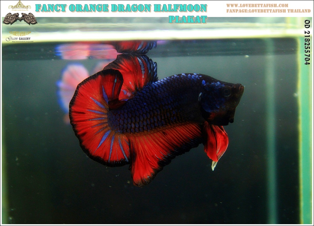 """(ขายแล้วครับ)""""คัดเกรด""""ปลากัดครีบสั้น-Halfmoon Fancy Dragon Nice Form"""