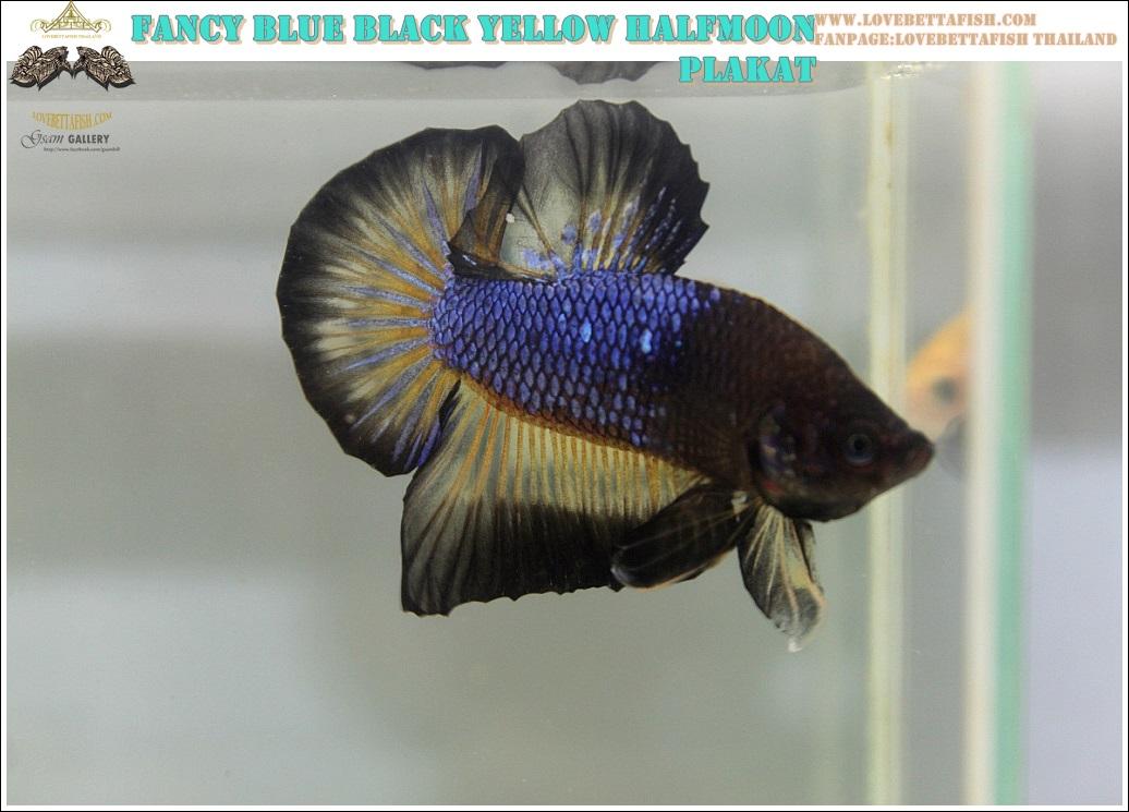 """(ขายแล้วครับ)""""คัดเกรด""""ปลากัดครีบสั้น-Halfmoon Plakats Blue Black Yellow"""
