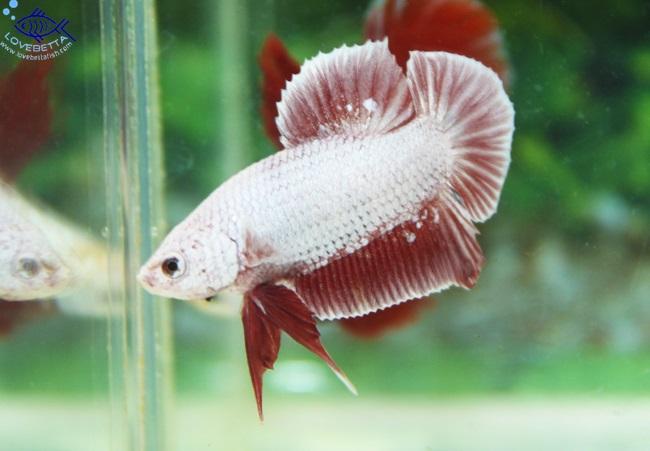 """""""คัดเกรด""""ปลากัดครีบสั้น-Halfmoon Plakats PinkDragon"""