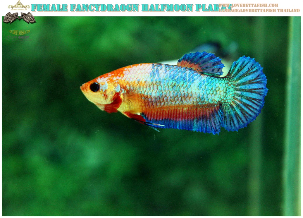 """(ขายแล้วครับ)นานๆทีปล่อยตัวเมียครับ""""คัดเกรด""""ปลากัดครีบสั้น-Female Halfmoon Plakats Fancy Dragon Orange Quality Grade"""