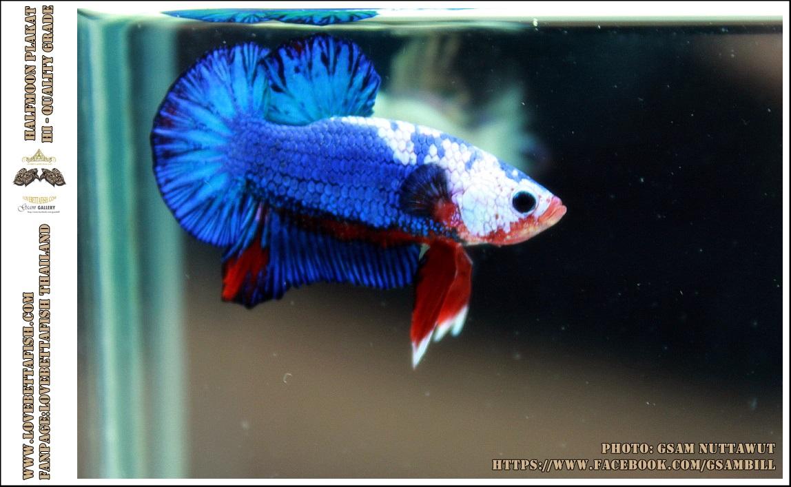 คัดเกรดปลากัดครีบสั้น-Halfmoon Plakat Blue Dragon White Monster