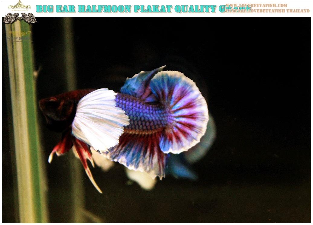 """(ขายแล้วครับ)""""คัดเกรดประกวด""""ปลากัดครีบสั้นหูช้าง-Halfmoon Plakats Big Ear Lavender Quality Grade"""