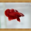 ปลากัดครีบสั้น - Halfmoon Plakats SUPER RED4