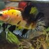 ปลากัดคัดเกรดครีบสั้น - Halfmoon Plakad Fancy Yellow Koi Quality Grade