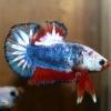 ปลากัดคัดเกรดครีบ - Halfmoon Plakad Fancy Dragon Premium Quality Grade