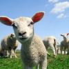 sheep placenta